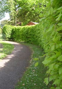 Hedge along path