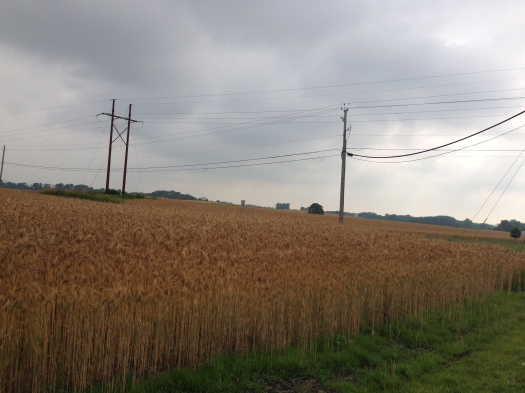 Wheat field, farm